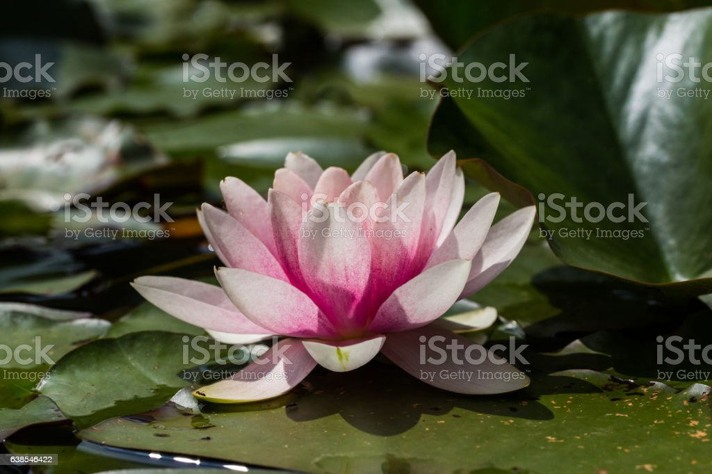 pink blossom of nymphaea flower with dark background stock photo