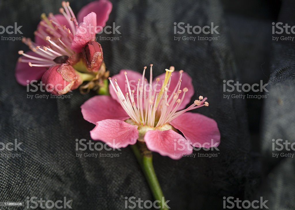 Pink Blossom. stock photo
