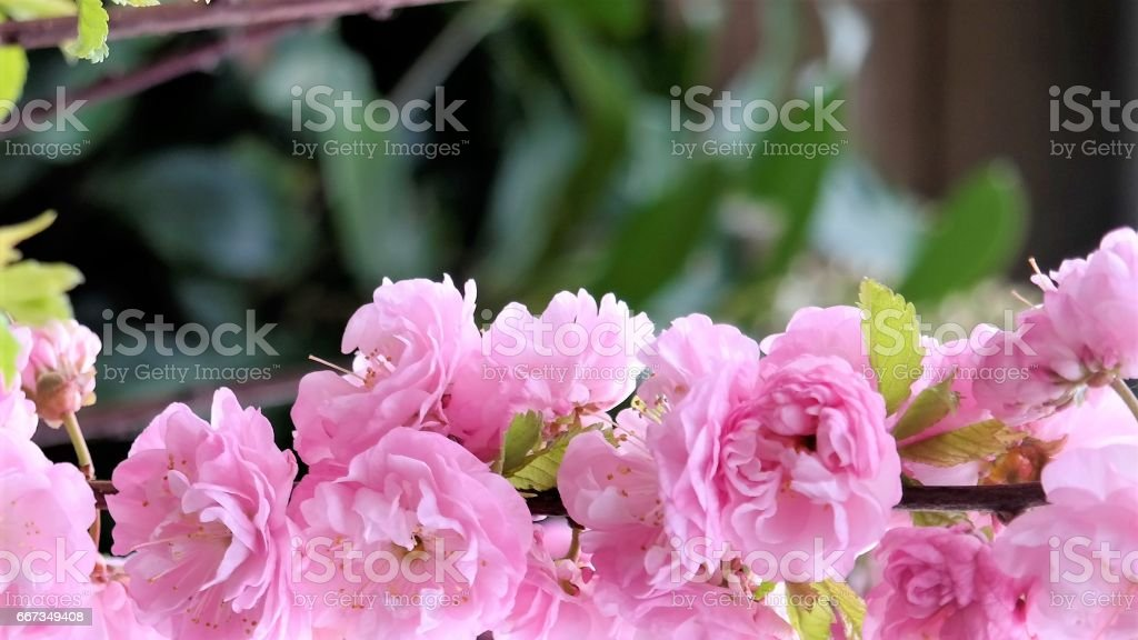 pink blossom with text space stock photo