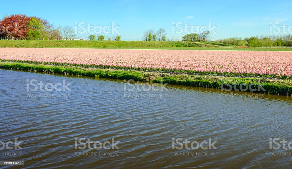 Pink blossoming hyacinth bulbs next to a canal stock photo