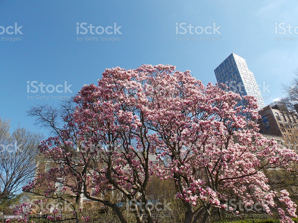 Pink Blossoming Tree Against City Skyline stock photo