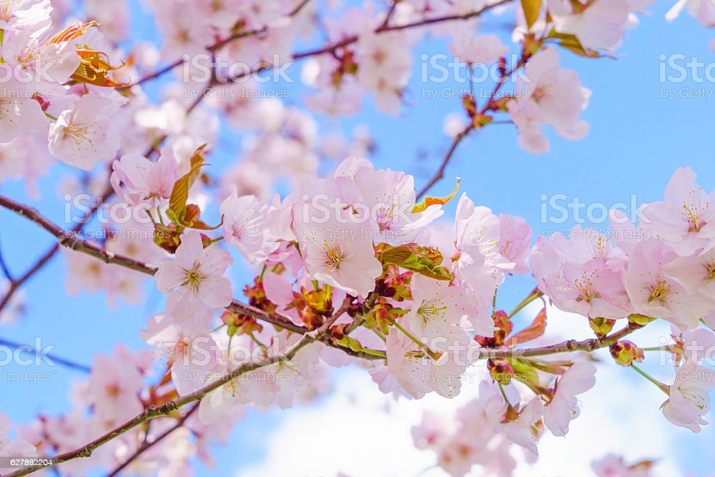 pink blossoms of Sargent's cherry stock photo