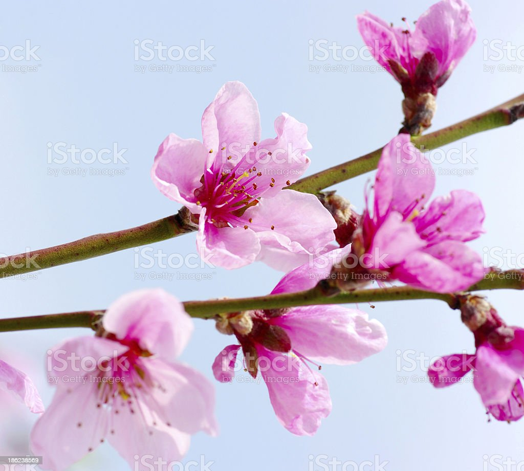 pink blossoms royalty-free stock photo