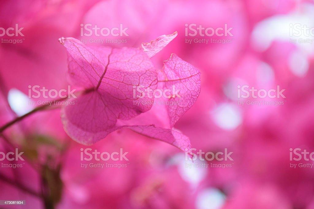 Pink bogenvilliea stock photo