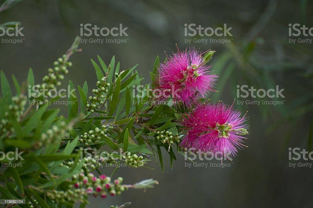 Pink Bottlebrush stock photo