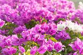 Pink bougainvilea flowers