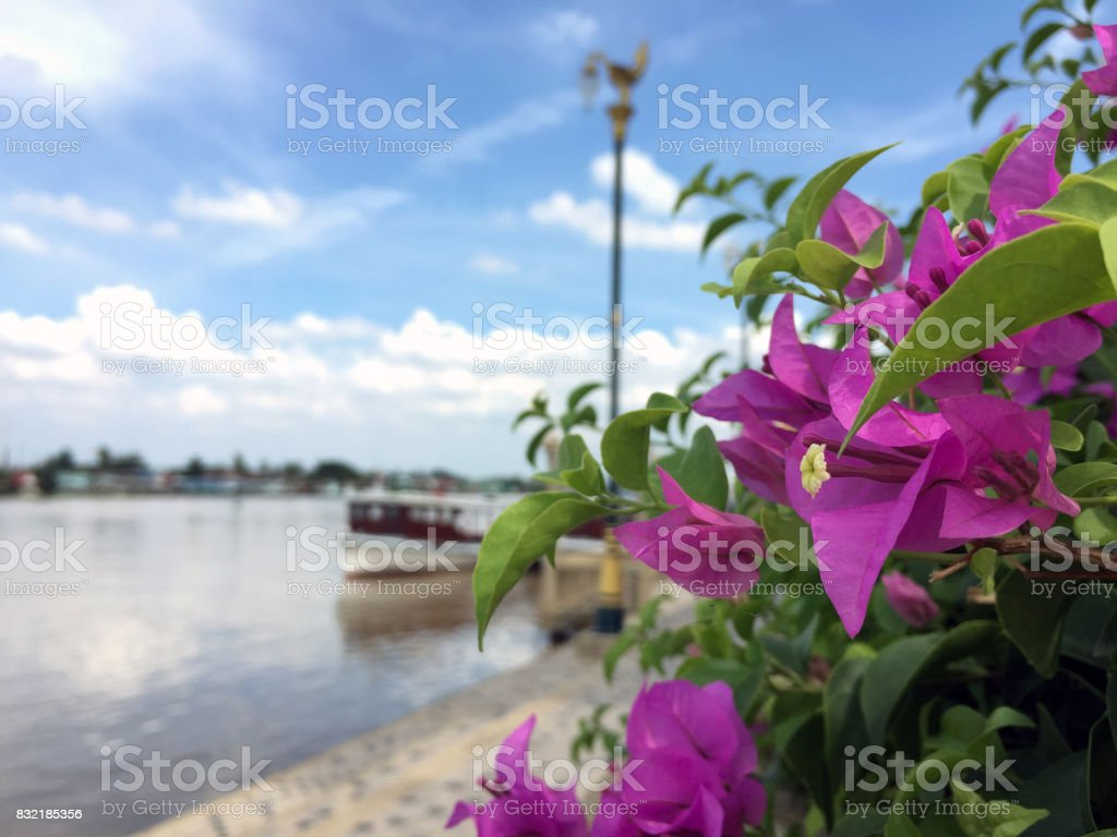 pink bougainvillea flowers and green leaf beside the river and blue sky. stock photo