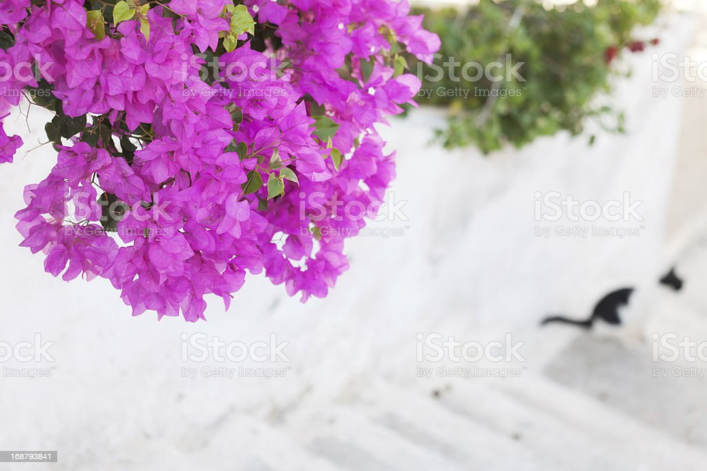 Pink Bougainvillea Flowers royalty-free stock photo