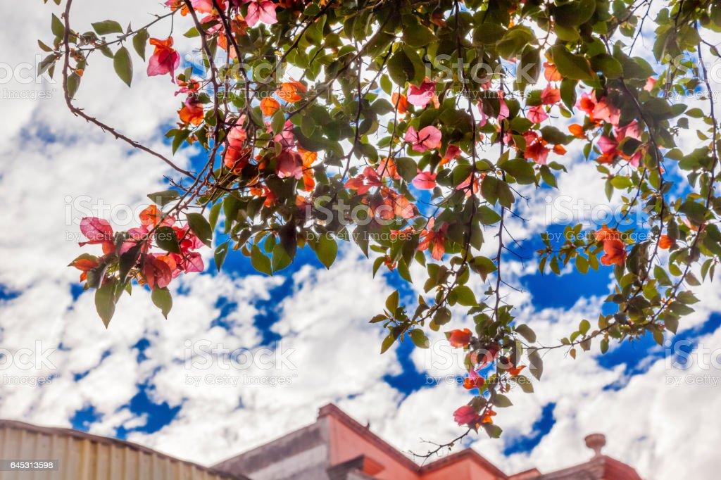 Pink Bougainvillea San Miguel de Allende Mexico stock photo