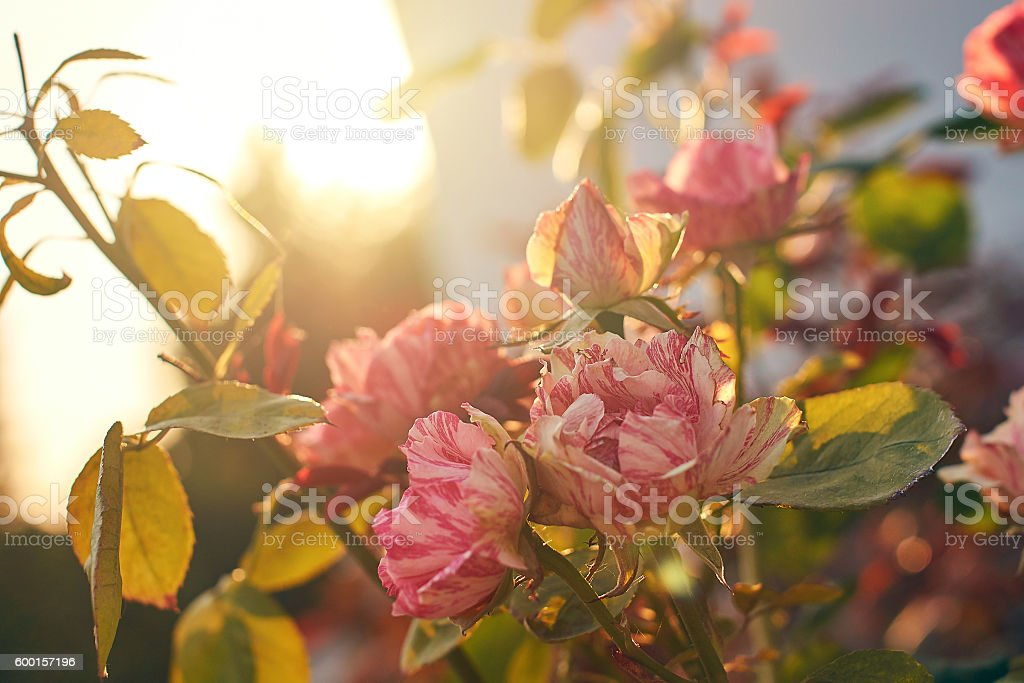 Pink Bourbon roses in the evening light stock photo