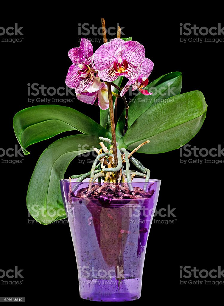Pink branch orchid  flowers in transparent vase stock photo