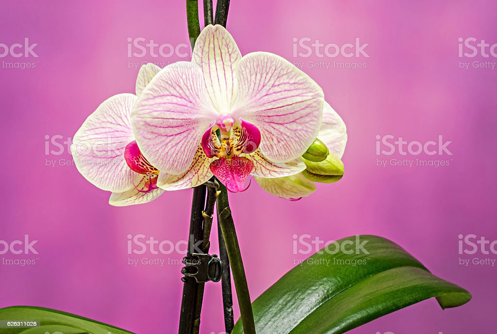 Pink branch orchid  flowers with green leaves, Orchidaceae stock photo