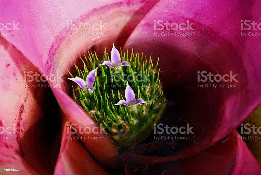 Pink Bromeliad in Flower stock photo