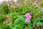 Pink budding and blossoming Himalayan Balsam from close