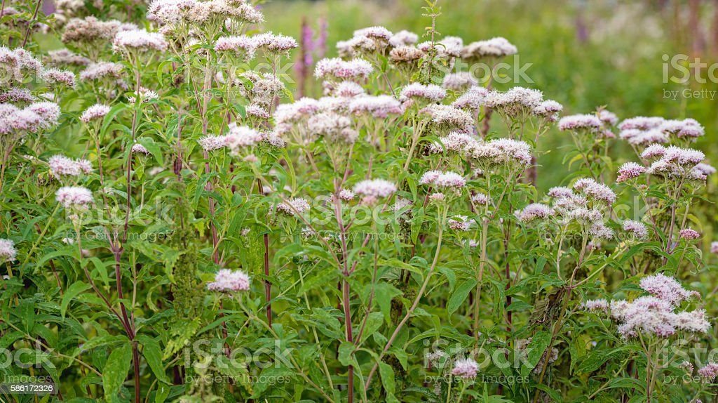 Pink budding and flowering Valerian plants from close stock photo