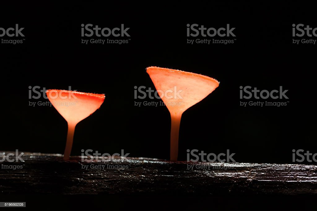 Pink Burn Cup mushroom stock photo