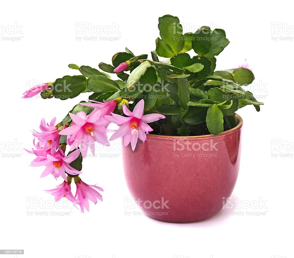 pink cactus flower royalty-free stock photo