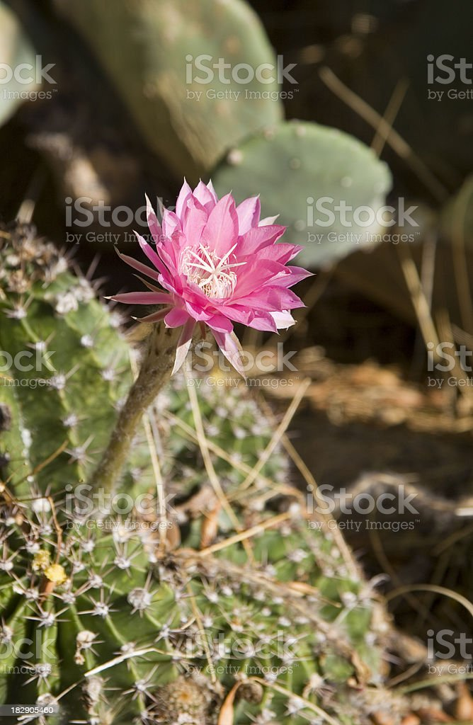 Pink Cactus Flower stock photo