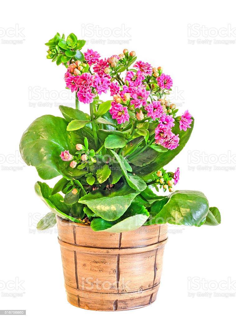 Pink Calandiva flowers, Kalanchoe, vintage vase stock photo