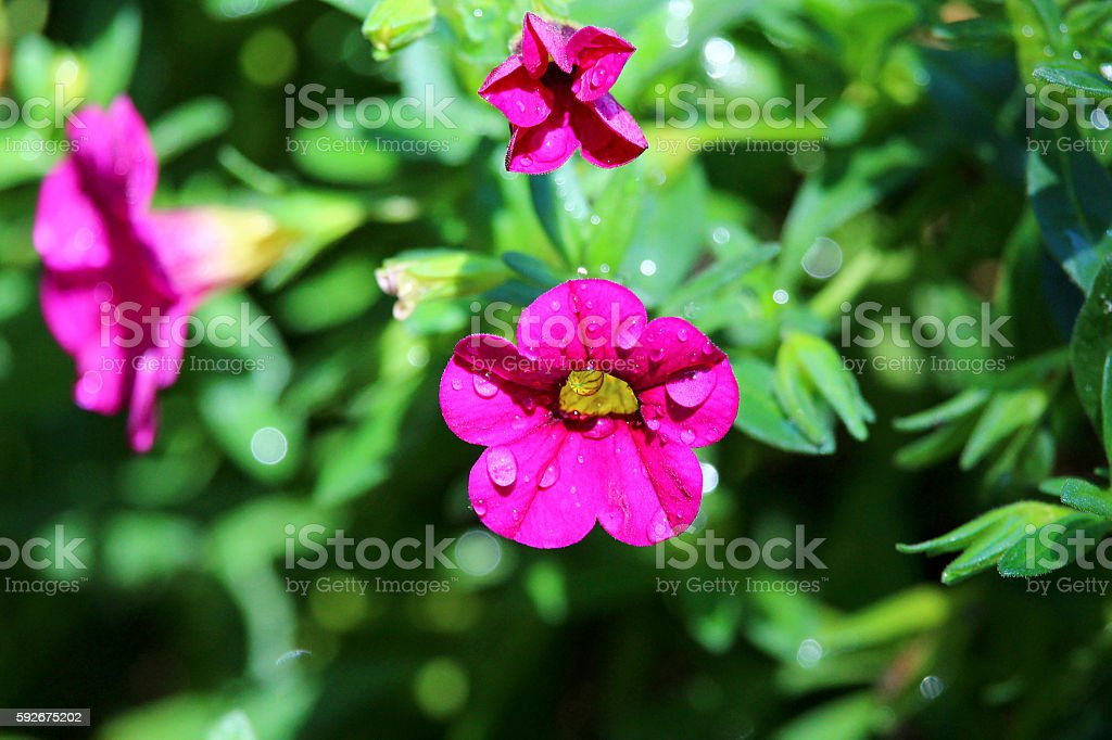 Pink Calibrachoa with water droplets stock photo