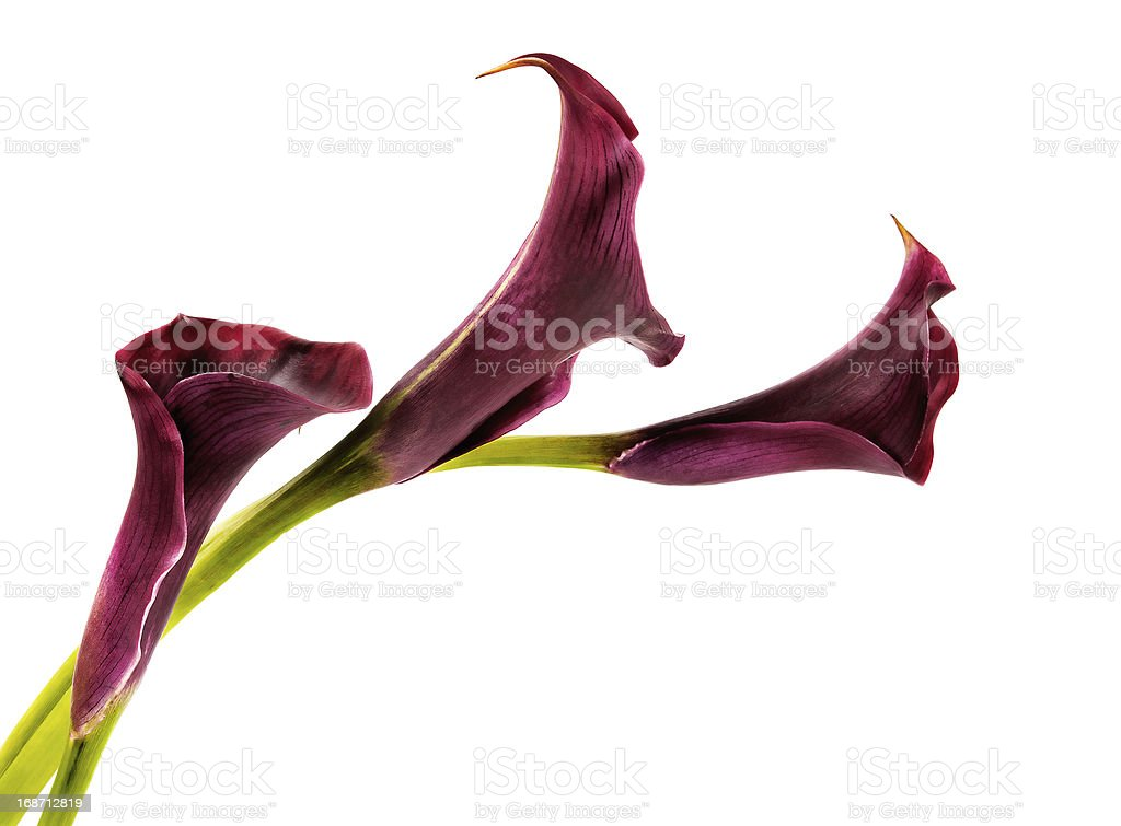 pink calla lilies royalty-free stock photo