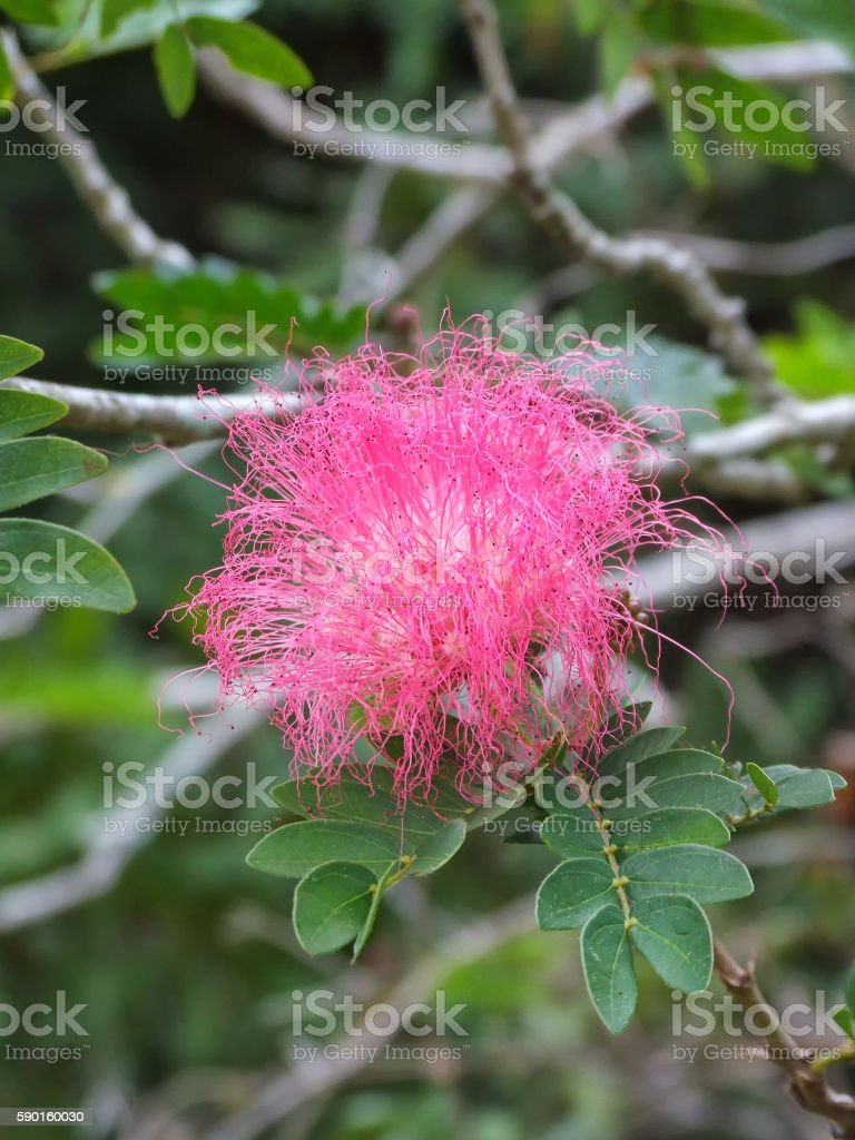 Pink Calliandra stock photo