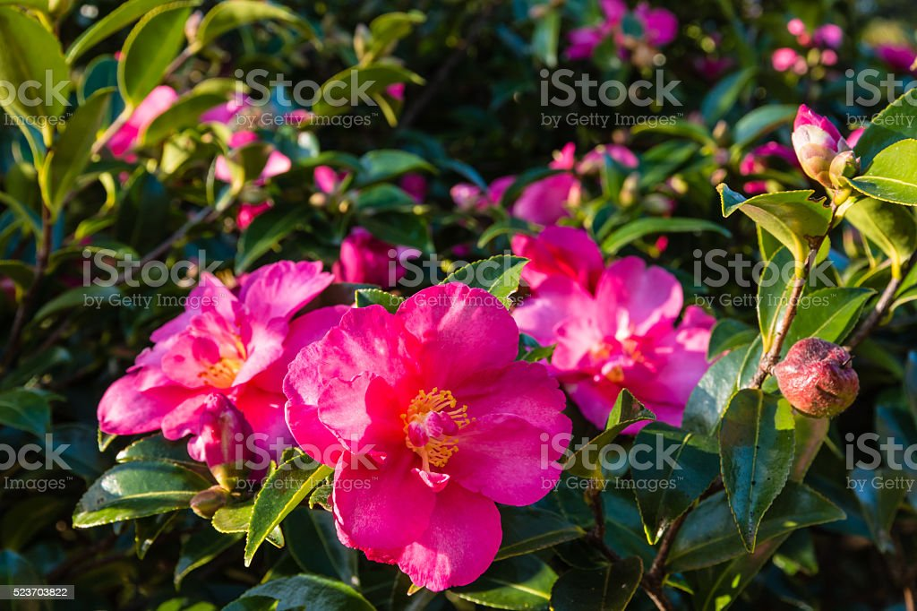 pink camellia flowers in bloom stock photo