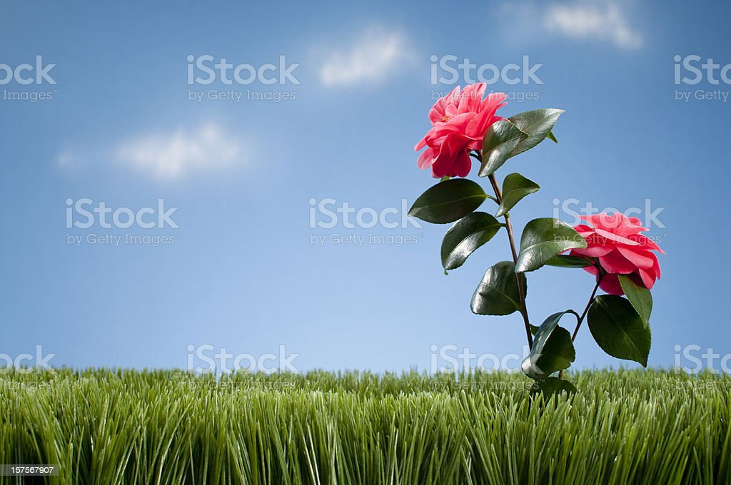 Pink Camellia Growing In Grass royalty-free stock photo