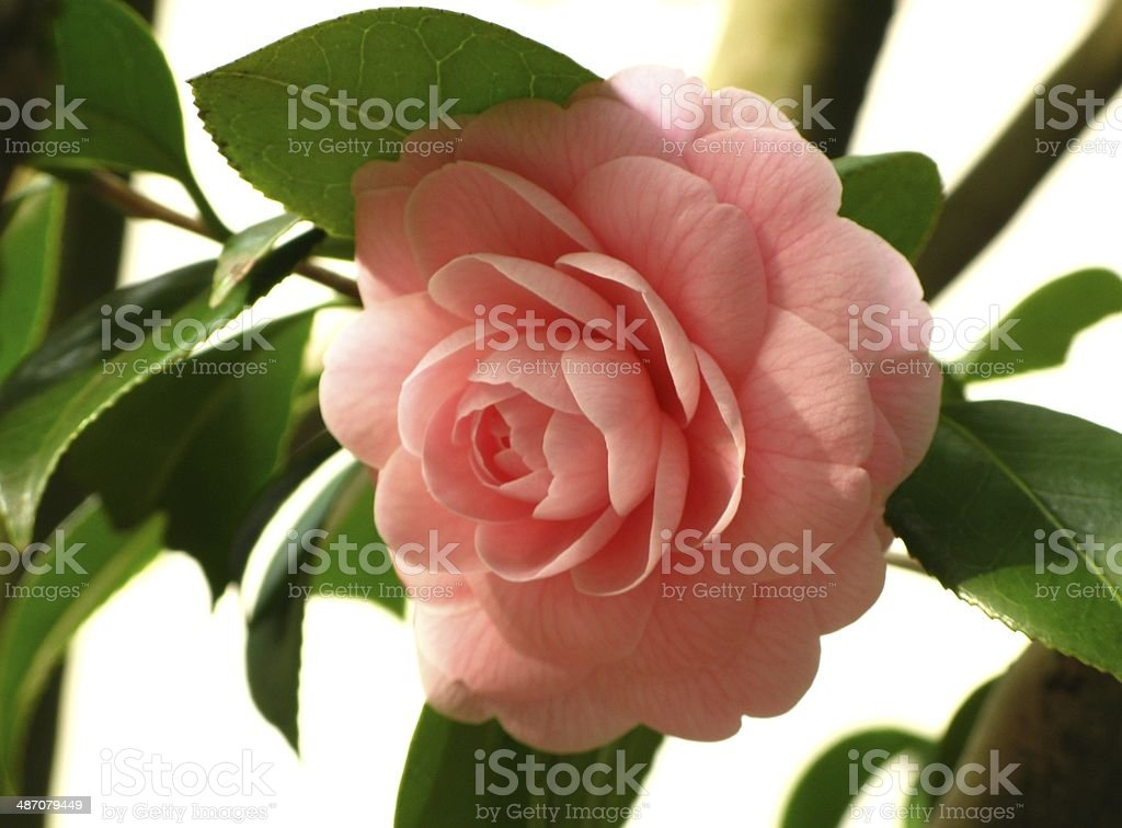 Pink Camellia royalty-free stock photo