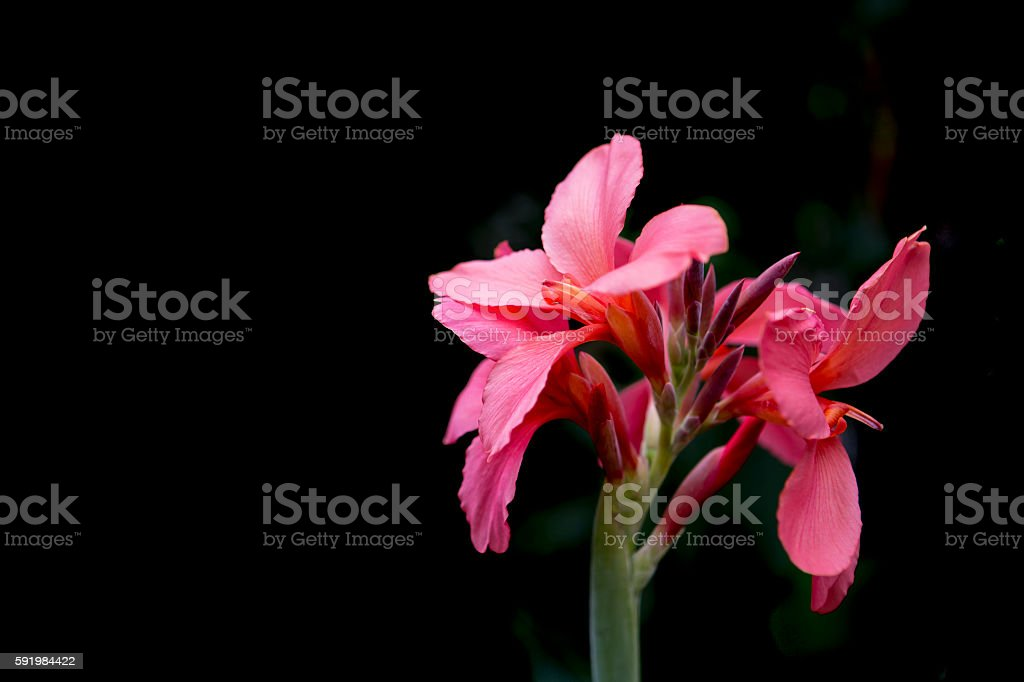 Pink Canna indica flower with black background stock photo