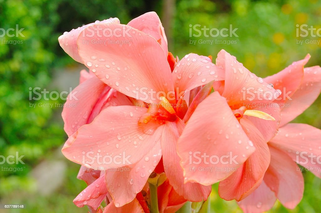 Pink Canna Lily in garden stock photo