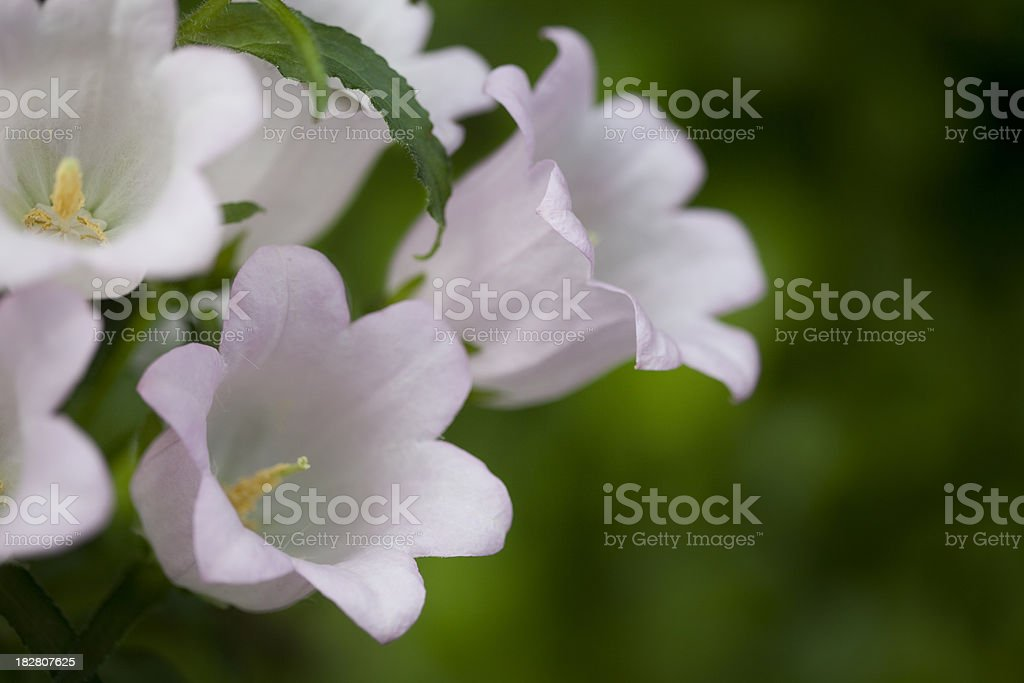 Pink Canterbury Bell Cluster Closeup Against Green royalty-free stock photo