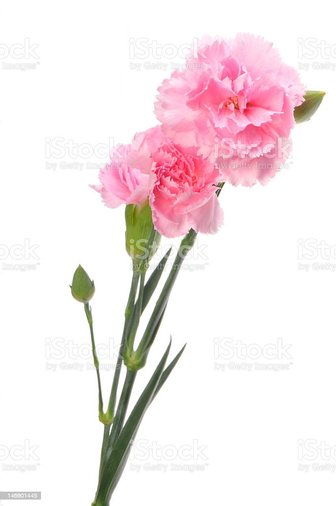 Pink carnation against white background stock photo