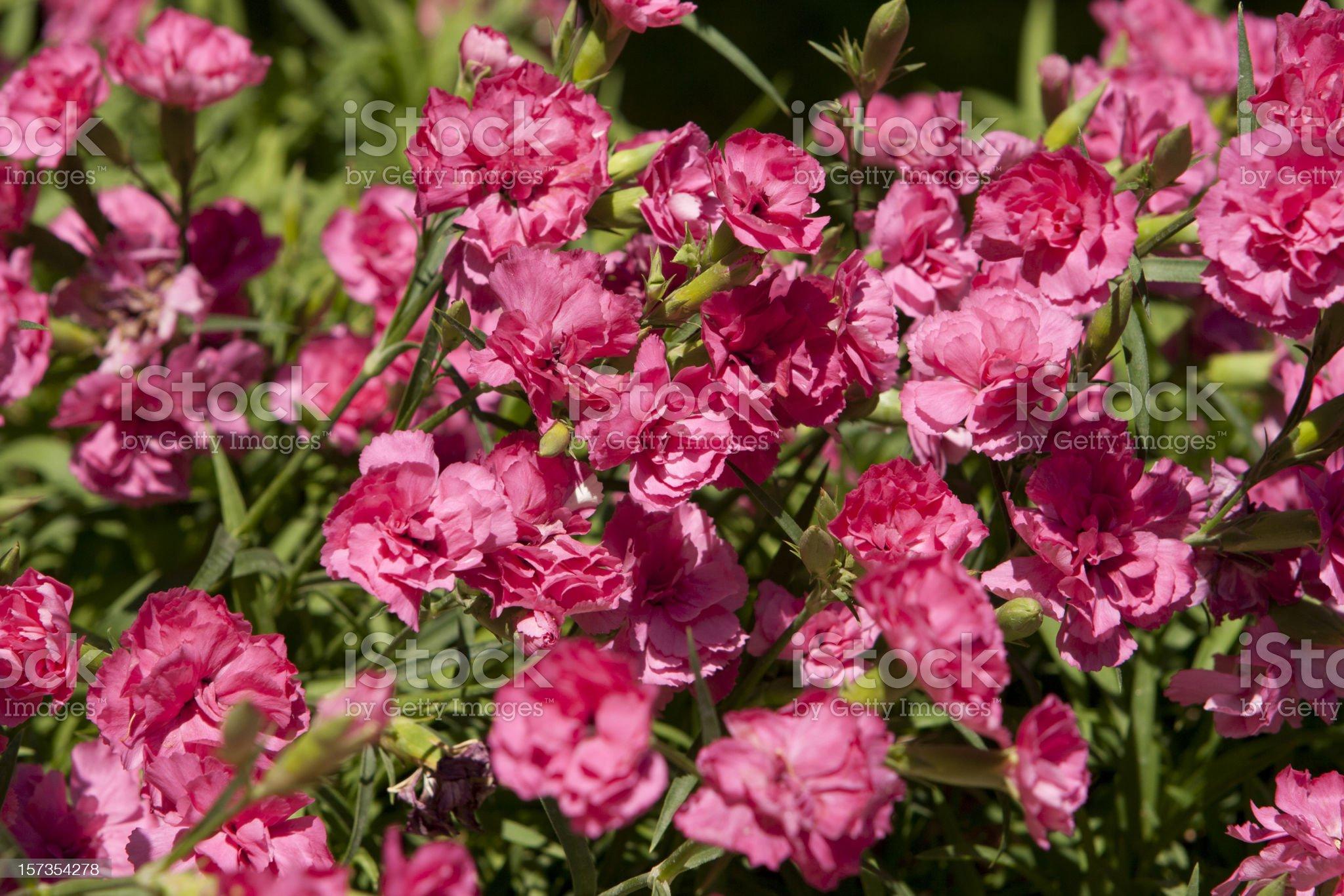 Pink carnation background. royalty-free stock photo