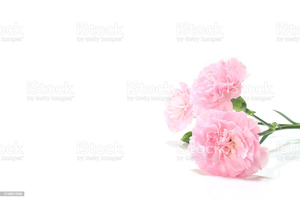 pink carnation flower and copy space #2 stock photo