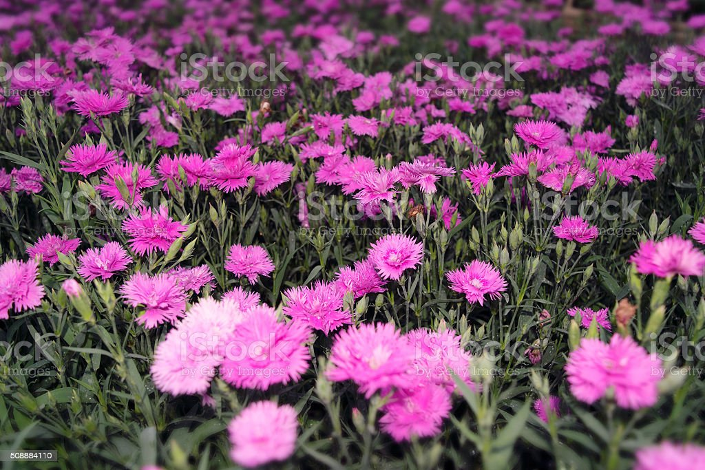 Pink Carnation flowers Nature abstract - vintage style stock photo