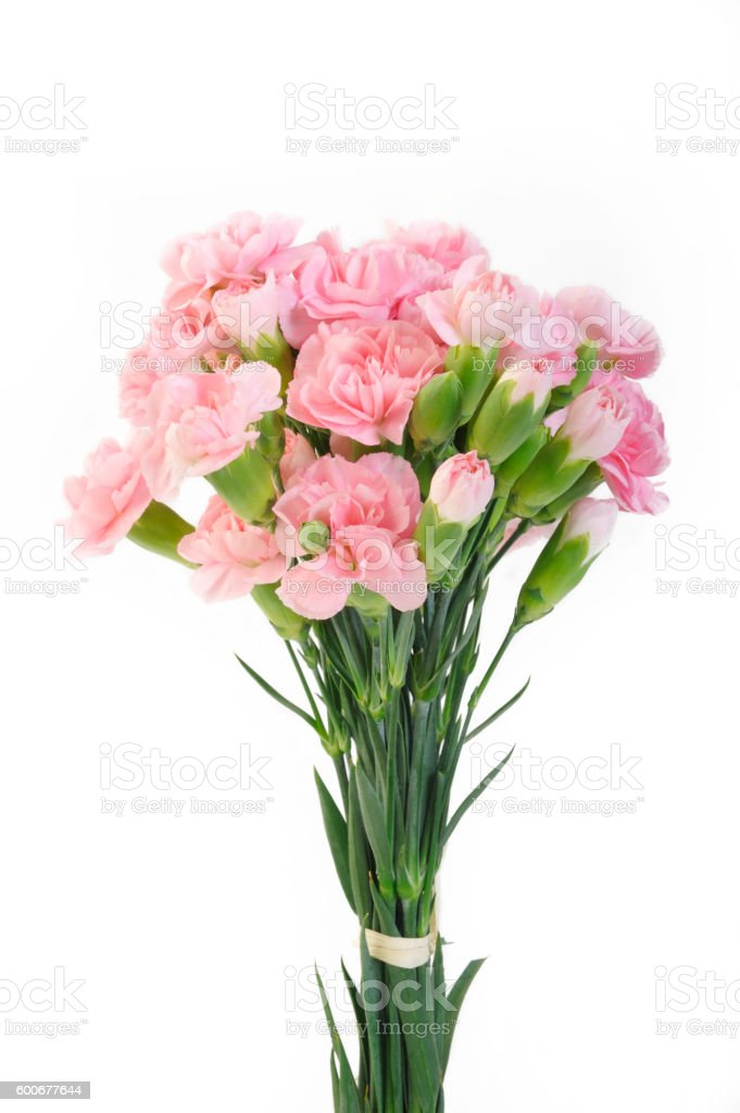 pink carnation flowers on white background stock photo