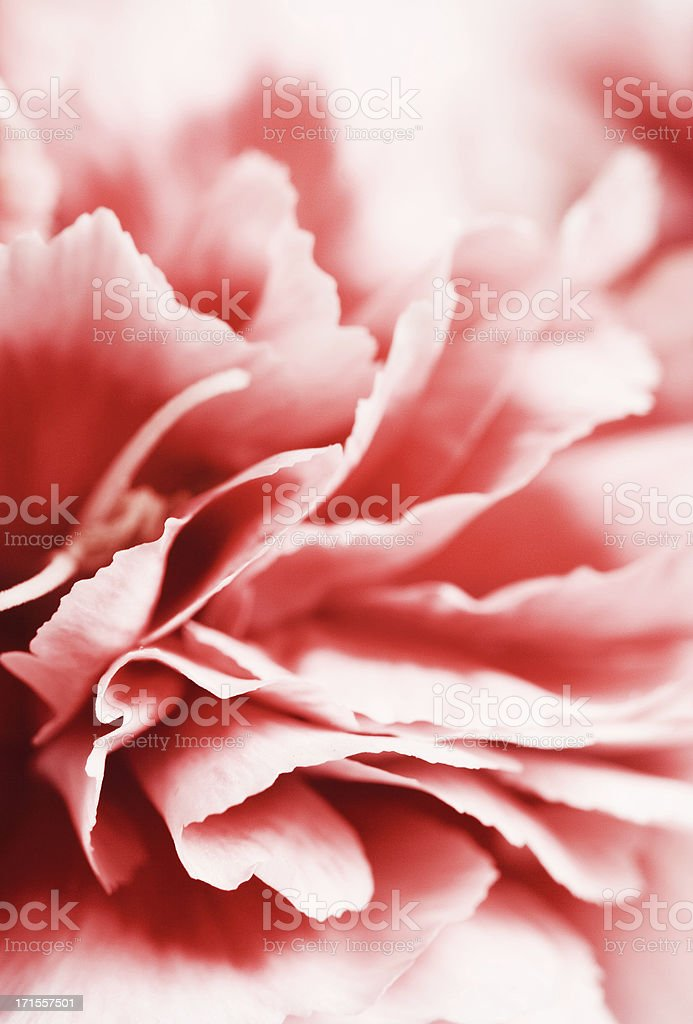 Pink carnation royalty-free stock photo