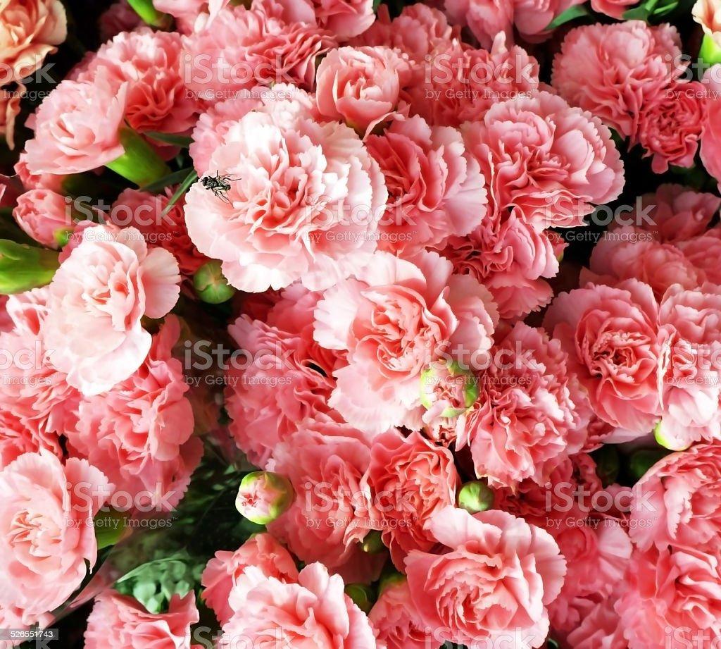 핑크 carnations 및 집파리 royalty-free 스톡 사진