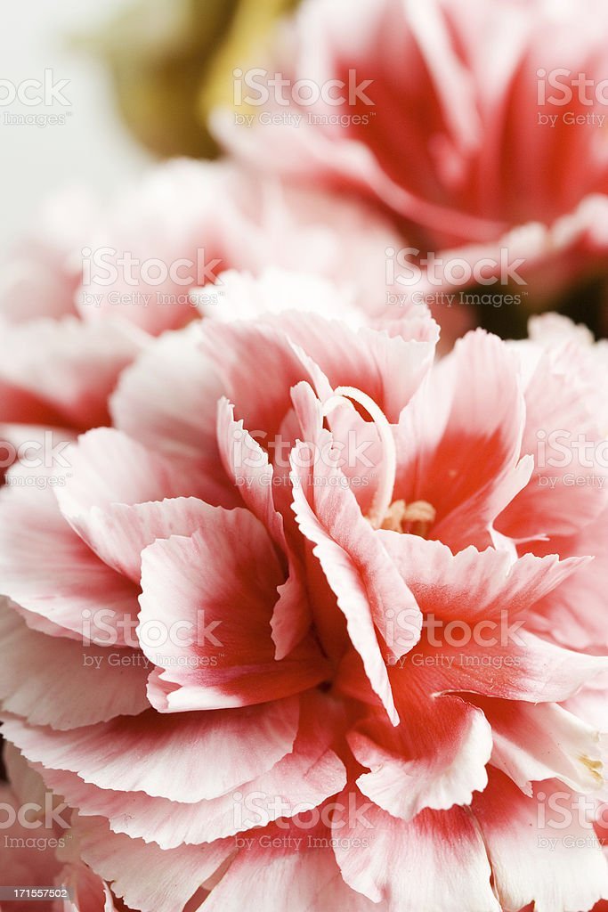 Pink carnations royalty-free stock photo