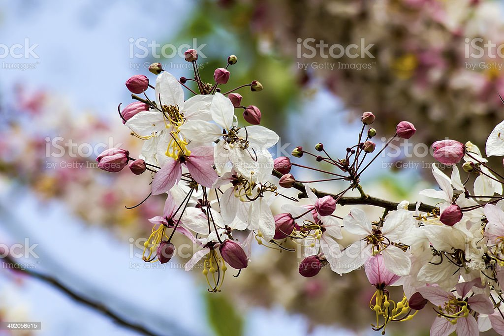 pink cassia flower tree. stock photo