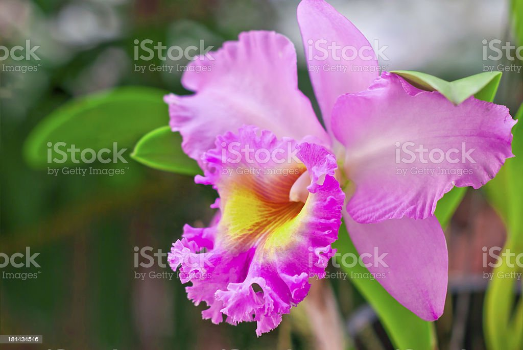 Pink cattleya, Orchid stock photo