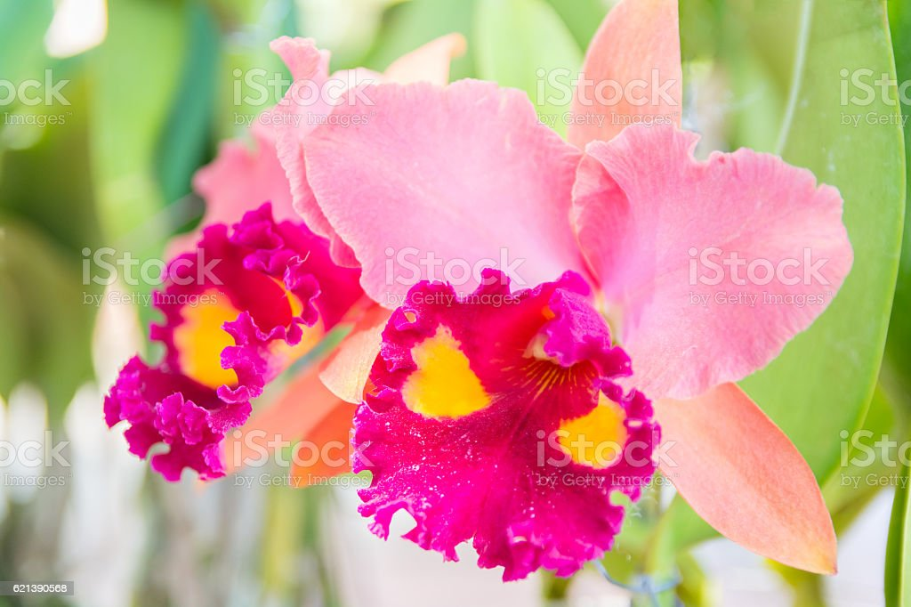 Pink Cattleya orchid. stock photo