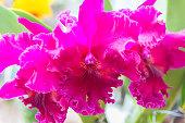 Pink Cattleya orchid.