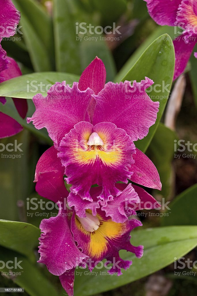 pink cattleya orchids stock photo