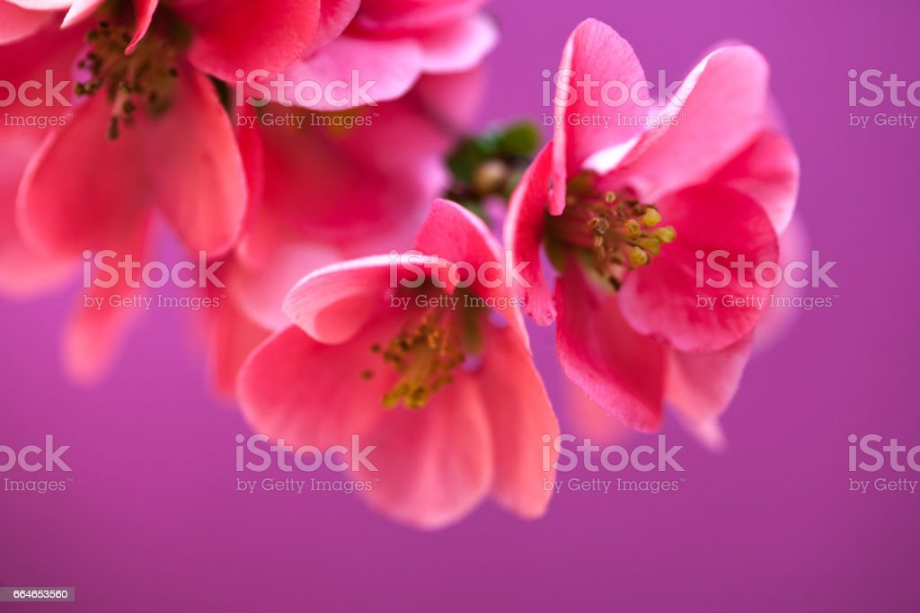 Pink Chaenomeles Flower On Purple Background - Close Up stock photo