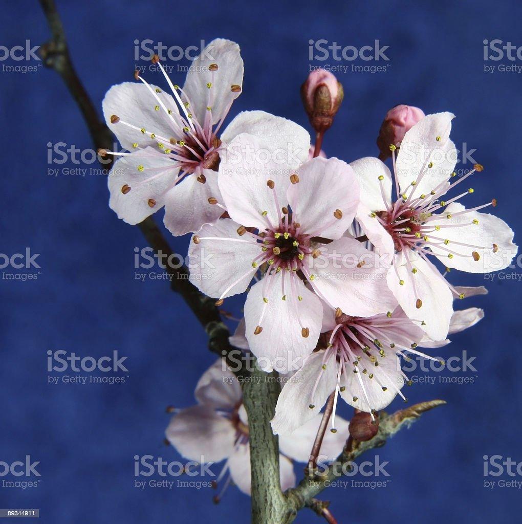 pink cherry blosom royalty-free stock photo