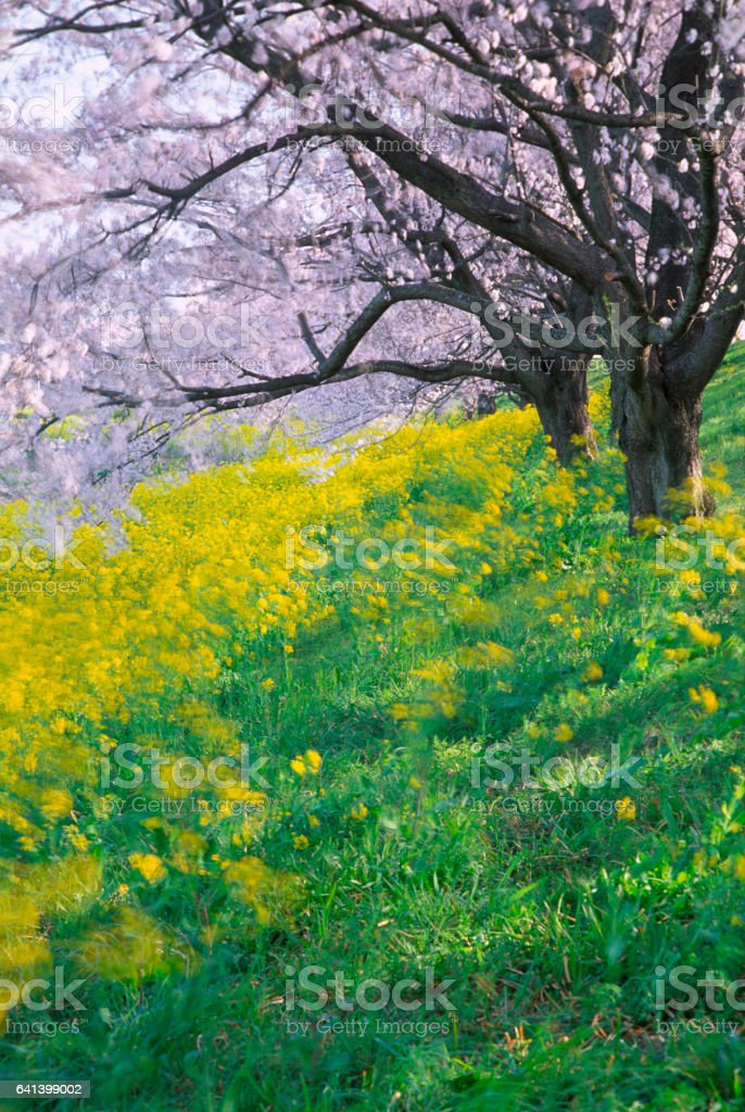 Pink Cherry Blossom and Canola Flowers on Windy Morning stock photo