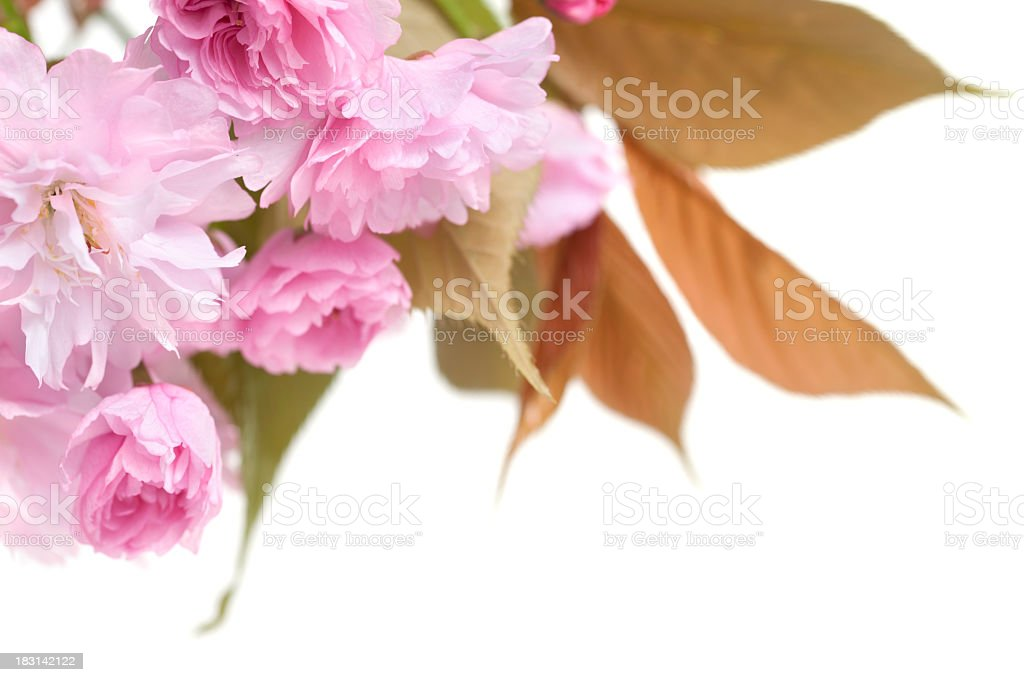 Pink cherry blossom and leaves on white background royalty-free stock photo