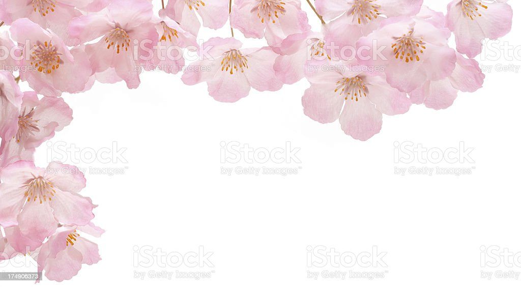 Pink cherry blossom border royalty-free stock photo